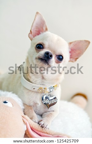 picture of cute and curious chihuahua .