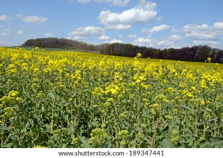 picture of flowering rape field - stock photo