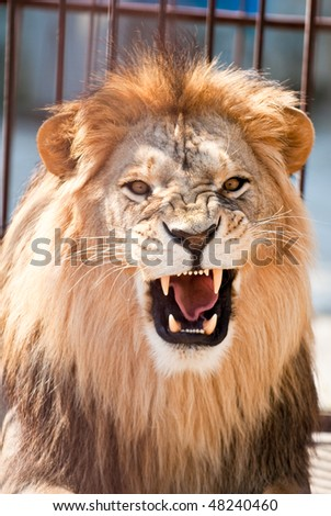 picture of lion of high-res with an artistic background - stock photo