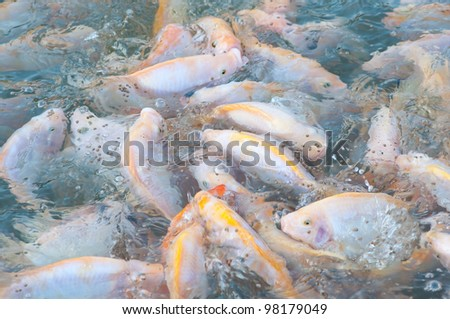 picture of many nile tilapia in a farm - stock photo
