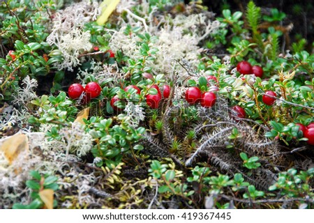 Picture of partridge berry.