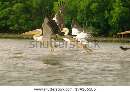 Picture of pelicans captured in Senegal  - stock photo
