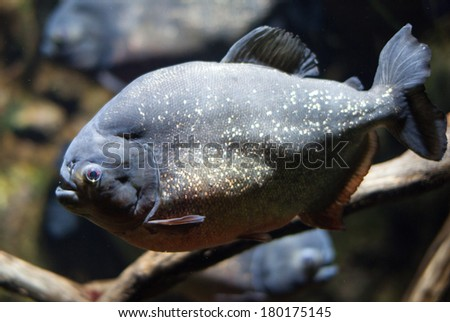 Picture of piranha under water - stock photo