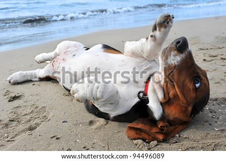 picture of puppy purebred basset hound on a beach - stock photo