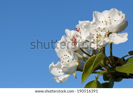 Picture of some tree flowers against a clear blue sky in the background - stock photo