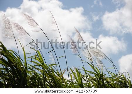 Picture of sugar cane flower with blue sky and white clouds in the background