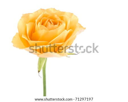 Picture of tea rose on white background. - stock photo