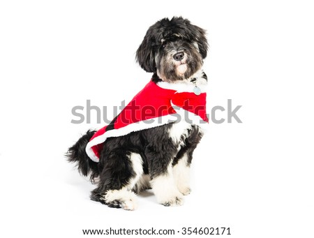Picture of tibetan terrier with Christmas Coat