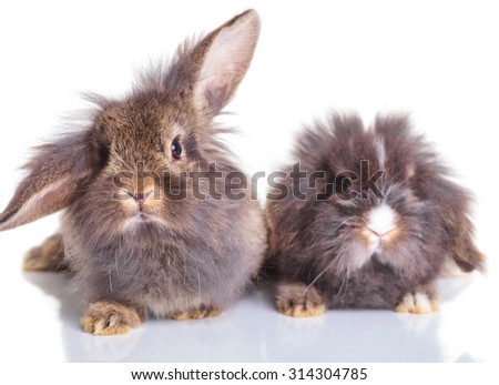 Picture of two adorable lion head rabbit bunnys sitting on isolated background. - stock photo