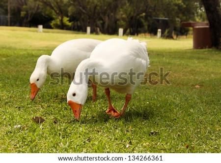 Picture of Two Geese Busy Eating Grass - stock photo