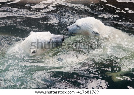 Picture of two polar bears playfully fighting in water