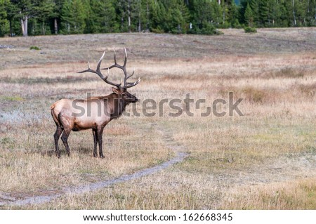 Picture of wild elk in Yellowstone NP. - stock photo