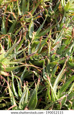 Picture of withered aloe vera leaves