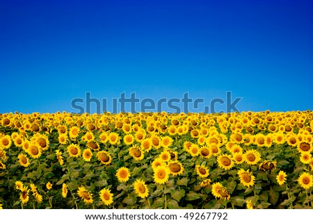 Picture of yellow sunflowers over blue sky - stock photo
