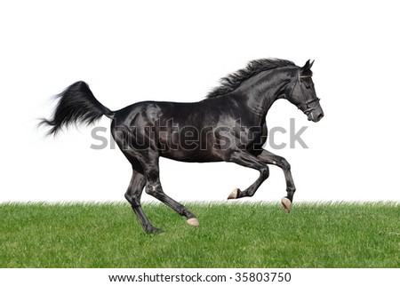 picture of young black horse galloping in grass isolated on white