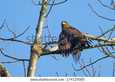 Picture  Spilornis cheela (Crested Serpent-Eagle)  on the branch in nature at Kaengkracharn National Park,Thailand - stock photo
