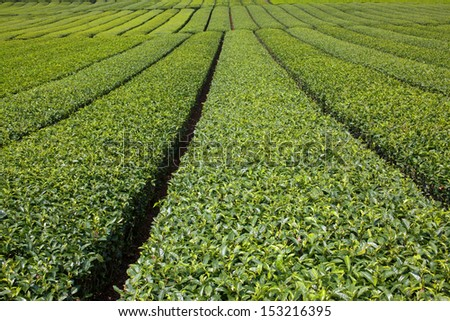 Pictured japanese tea plantaion in summer./Tea plantation