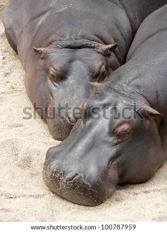 Pictures of the heads of the two sleeping hippos on the sand, one looks like he was crying. - stock photo