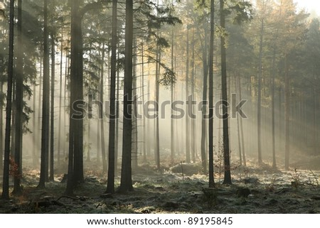 Picturesque autumnal forest on a foggy November morning. - stock photo