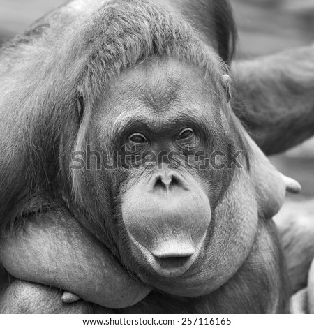 Picturesque beauty of amazing orangutan female. Cute and cuddly monkey with inimitable expression. An excellent representative of the great apes. Human like primate in black and white image.  - stock photo