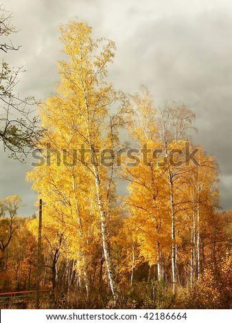 Picturesque birches in autumn colors illuminated by the setting sun. - stock photo