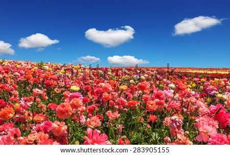 Picturesque field of the blossoming buttercups. Spring flowering garden large buttercups- ranunculus. Flowers are grown for export in the Nordic countries - stock photo