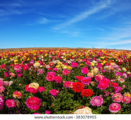 Picturesque field of the blossoming buttercups. Spring flowering garden large buttercups- ranunculus. Flowers are grown for export in the Nordic countries
