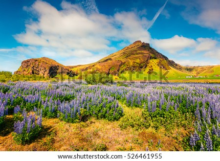 Picturesque Icelandic landscape with field of blooming lupine flowers in the June. Sunny summer morning in the south coast of Iceland, Europe. Artistic style post processed photo.