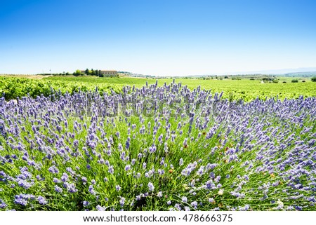 Picturesque landscape with lavender in sunlight.Alava,Spain.