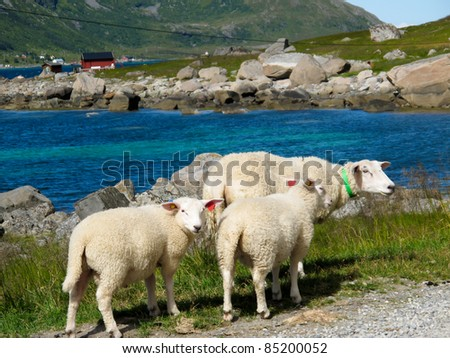 Picturesque landscape with sheeps at Norway islands