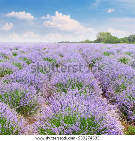 Picturesque lavender field with ripe flowers and bright blue sky.