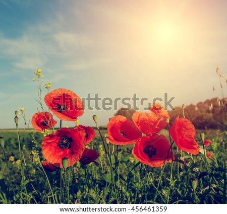 picturesque scene. closeup fresh, red flowers poppy  on the green field, in the sunlight. on the perfect blue sky background. majestic rural landscape. Retro and vintage style, Instagram toning effect - stock photo
