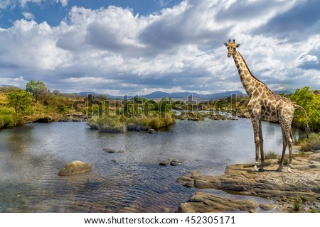 Picturesque shot of a giraffe, standing at the river bank. - stock photo