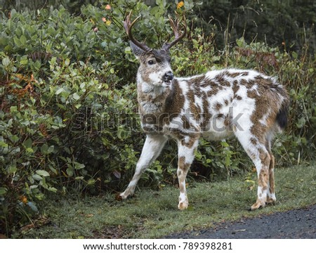 Piebald Deer Stock Photo Edit Now 789398281 Shutterstock