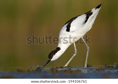 Pied avocet-  recurvirostra avosetta, looking for food