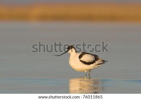 Pied avocet standing in the water / Recurvirostra avosetta - stock photo