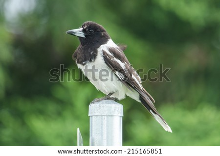 Pied Butcherbird - stock photo