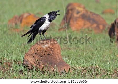 Pied Crow sitting on rock - stock photo