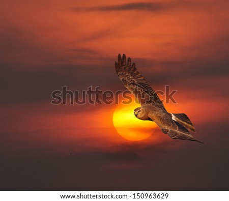 Pied Harrier   in thailand on The evening sky