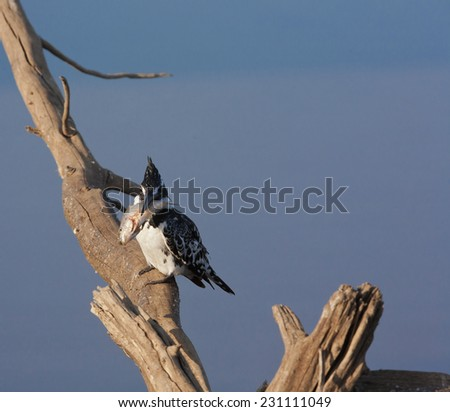 Pied Kingfisher beating a fish to a pulp before swallowing - stock photo