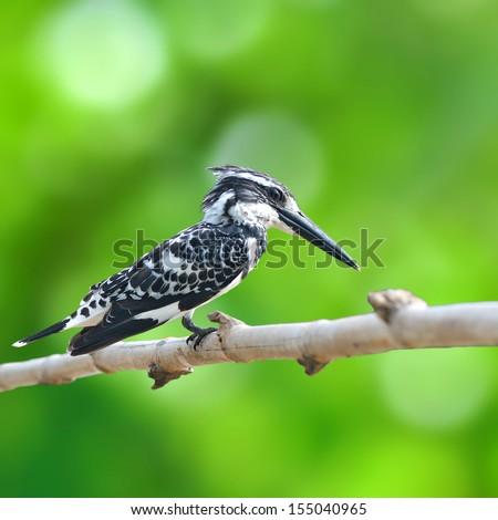 Pied Kingfisher - Ceryle rudis  - stock photo