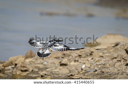 Pied Kingfisher (Ceryle rudis) flying Near lake for search of fish.