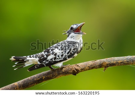 Pied Kingfisher (Ceryle rudis) is singing in nature - stock photo