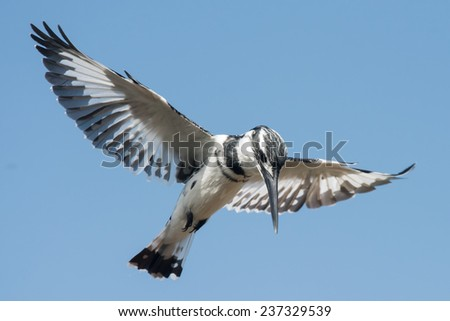 Pied Kingfisher (Ceryle rudis) male hovering in flight - stock photo