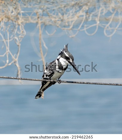 Pied Kingfisher ( Ceryle rudis ) on the cable - Israel - stock photo