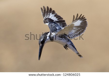 Pied Kingfisher hovering above a small pond in the Kruger Park. (Ceryle rudis) - stock photo