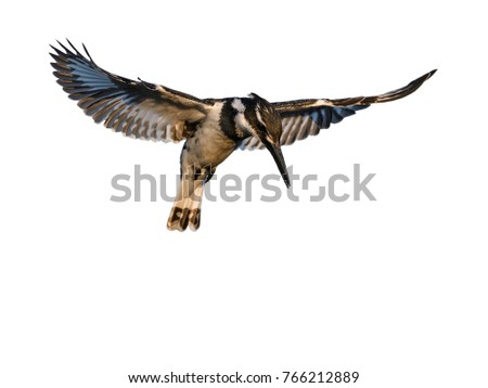 Pied Kingfisher Hovering on White Background, Isolated