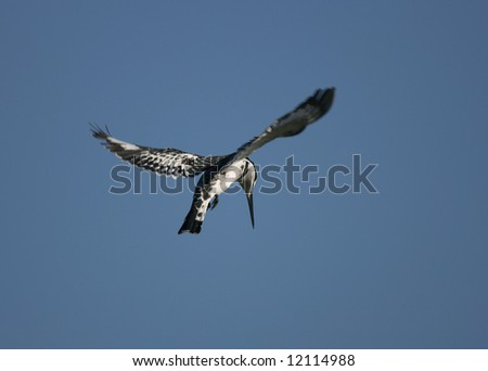 Pied Kingfisher Hovering over Prey