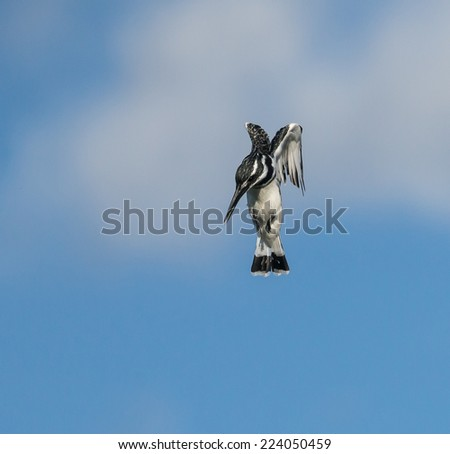 Pied Kingfisher in Flight - stock photo