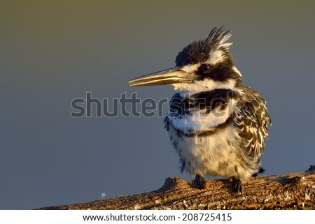 Pied Kingfisher in Pilanesberg national Park, South Africa - stock photo